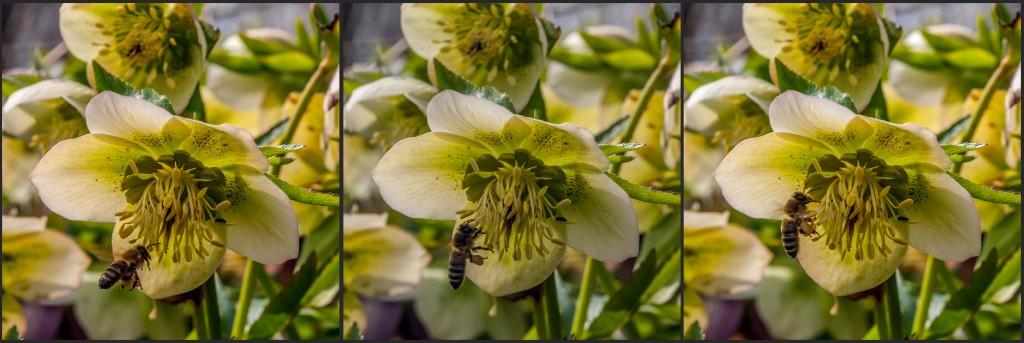 Schneerosen - Biene im Anflug