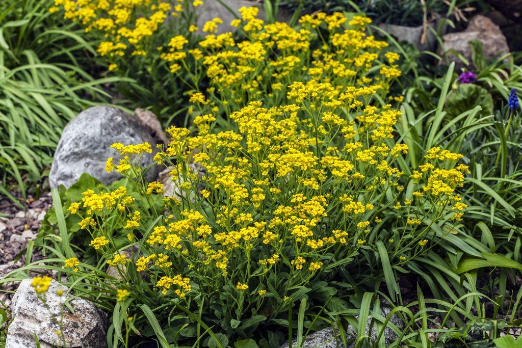 Frühling im Steingarten