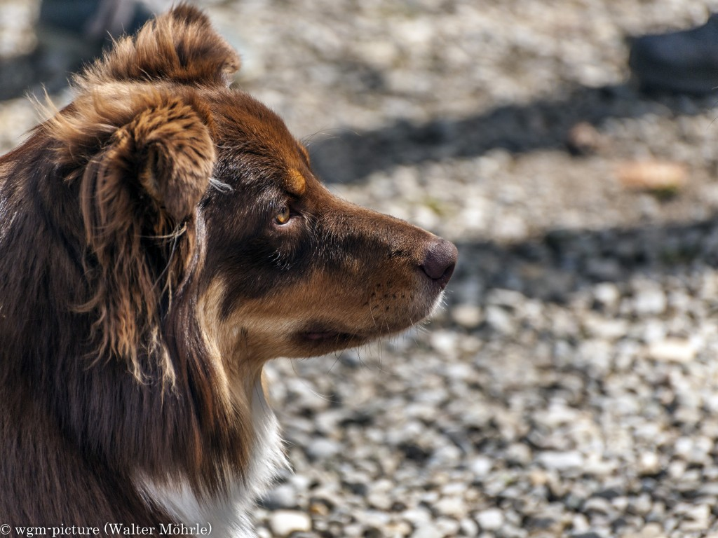 Mambo red-tri Australian Shepherd