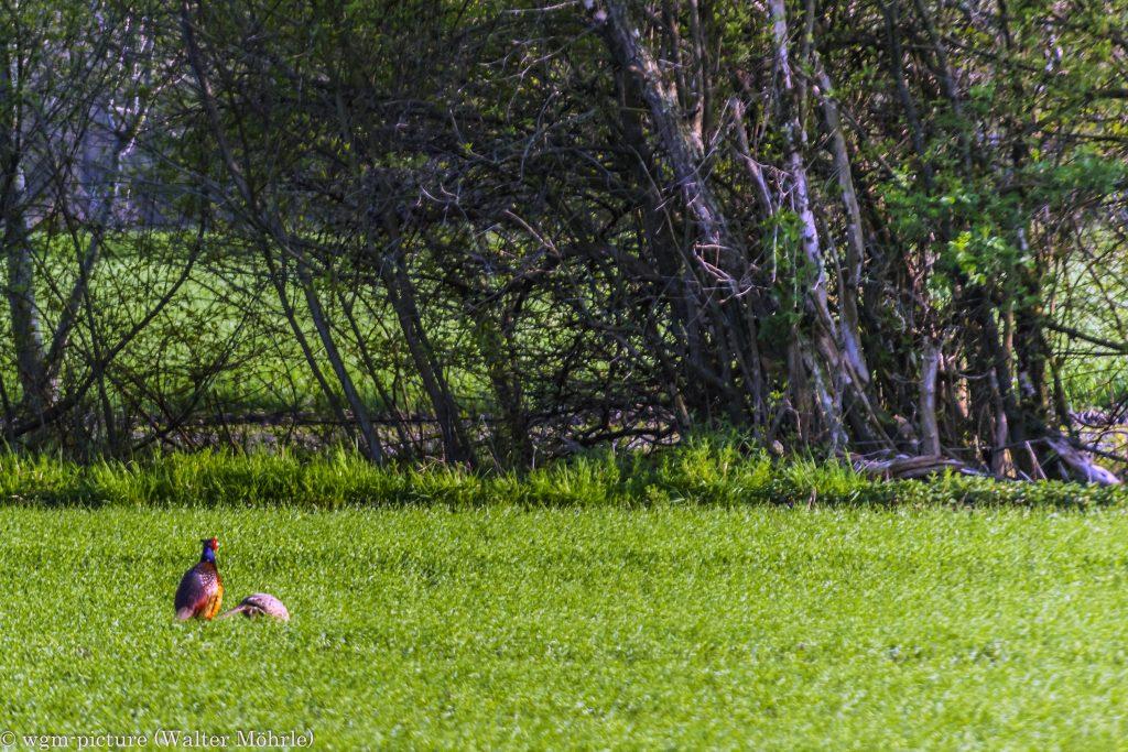 Erwischt Fasan (Phasianus colchicus) mit Henne