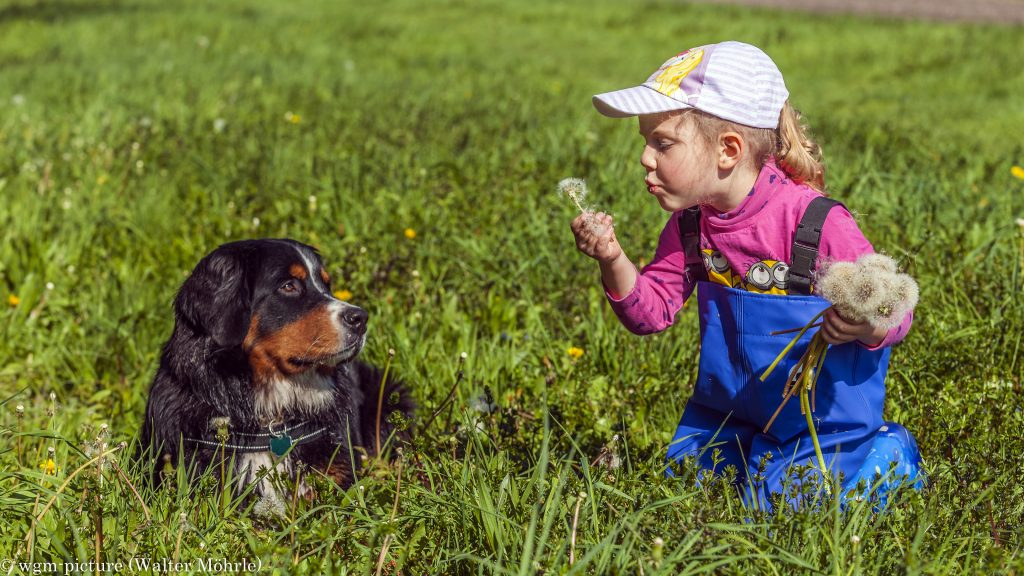 Mit Hazel Pusteblumen pusten Berner Sennerhündin Hazel 42 Wochen (9 Monate) alt