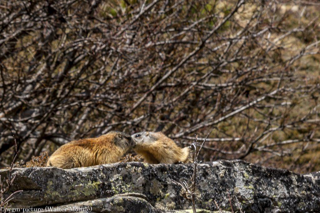 Poussierlich Murmeltier (Marmota)