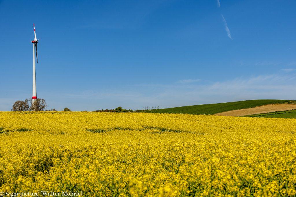 Gelbes Blütenmeer - Rapsfeld
