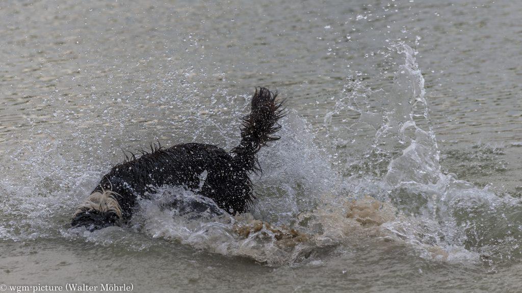 Steintauchhund