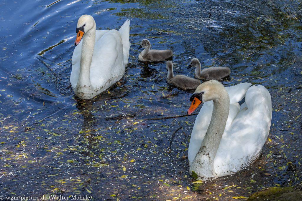 Familienausflug - Höckerschwan (Cygnus olor)