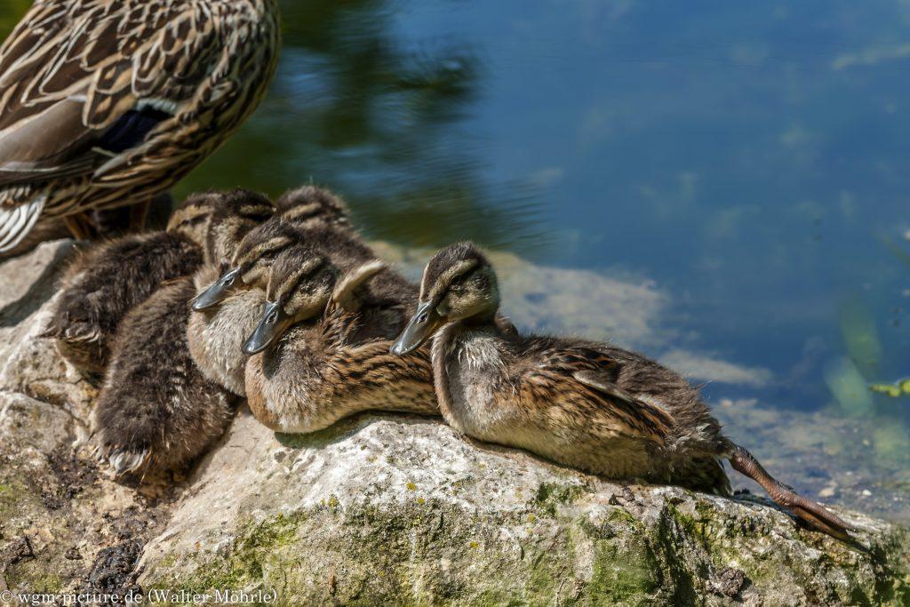 Familienidyll - Stockente (Anas platyrhynchos)