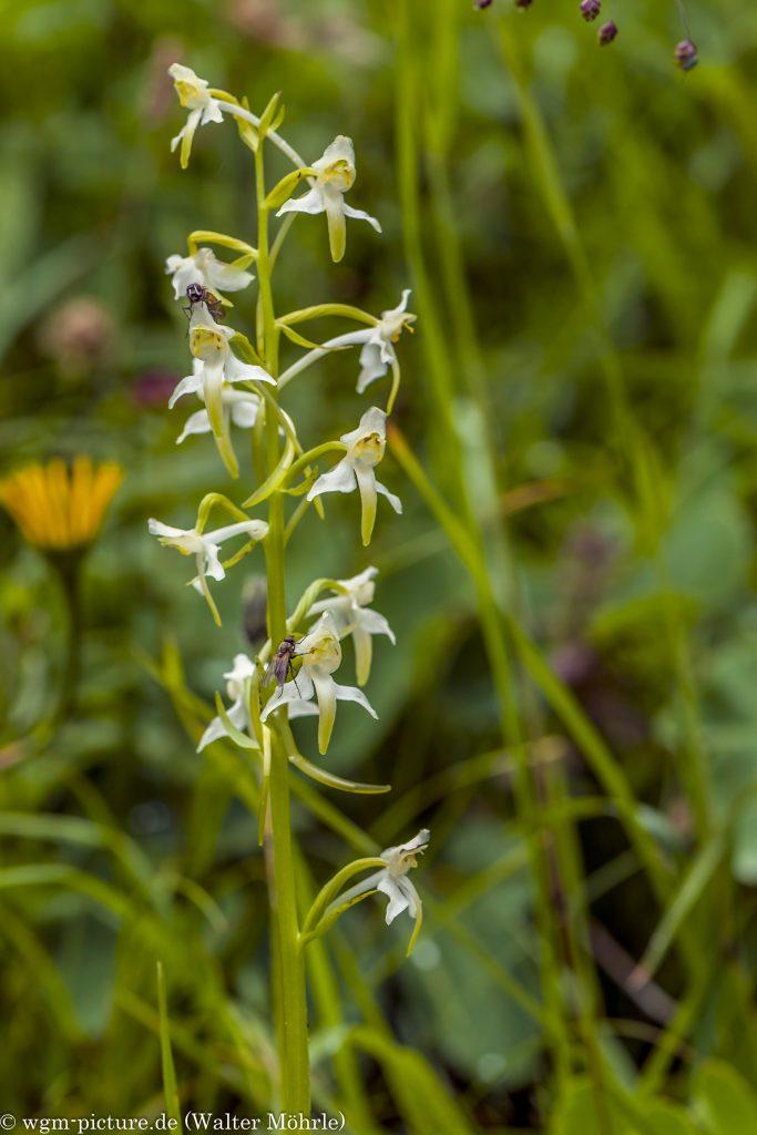 Weiße Waldhyazinthe (Platanthera bifolia), auch Zweiblättrige Waldhyazinthe genannt