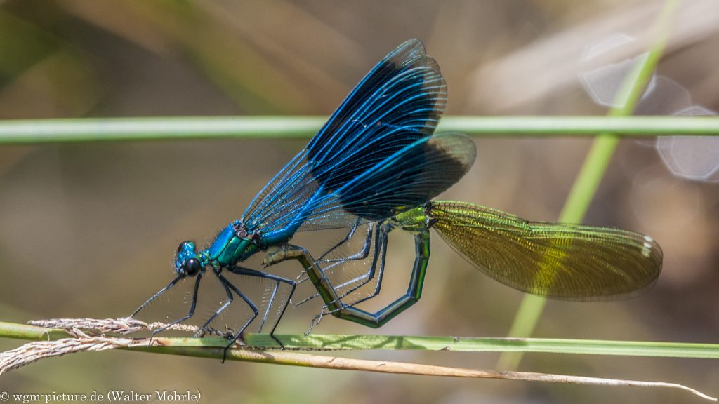 Gebänderte Prachtlibelle (Calopteryx splendens) - Paarung