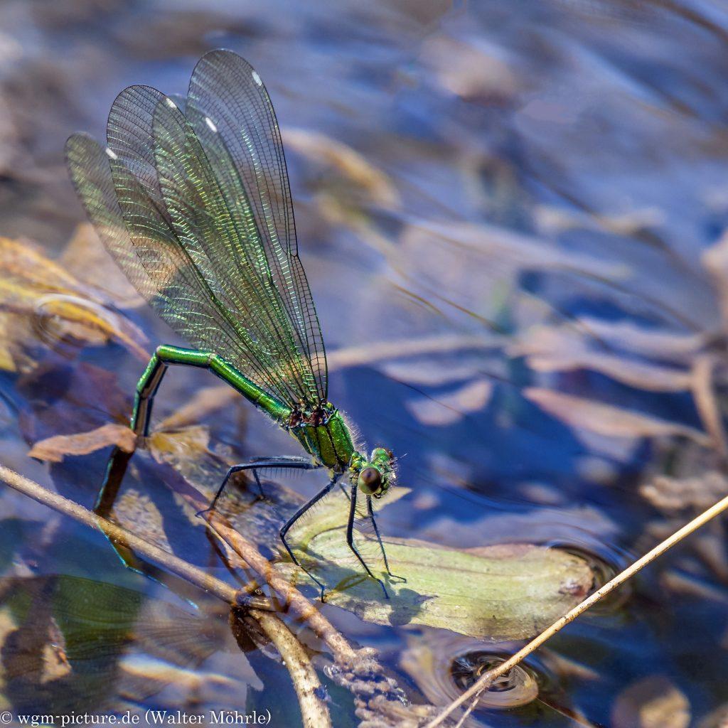 Gebänderte Prachtlibelle (Calopteryx splendens) - Eiablage
