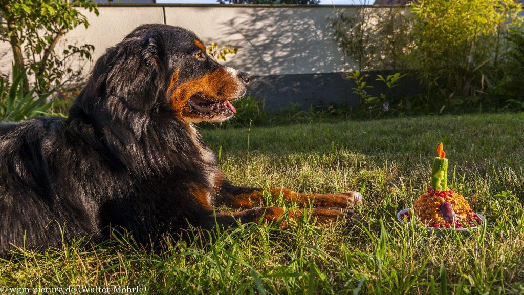 """""""Geburtstagskuchen"""" Berner Sennerhündin Hazel 52 Wochen (1 Jahr) alt"""