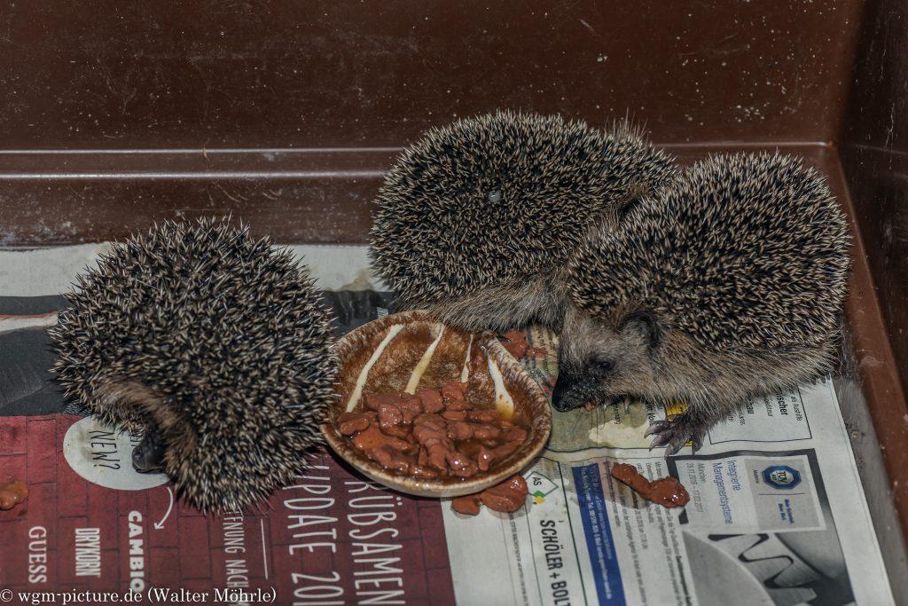 Braunbrustigel-Nachwuchs Pumba, Schnappi und Krümel